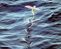 690px-Pink-wing_flying_fish.jpg